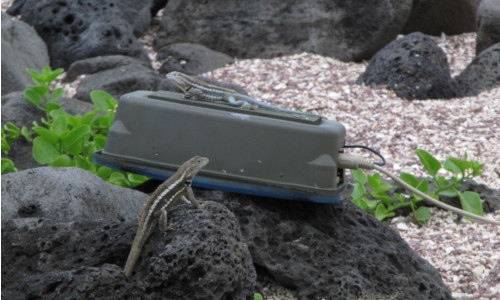 A real lizard encounters a robot lizard.